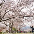 写真: 嵐山中島公園櫻花