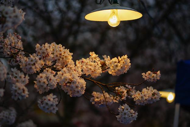 写真: 夜櫻