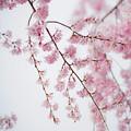 写真: ピンクの桜