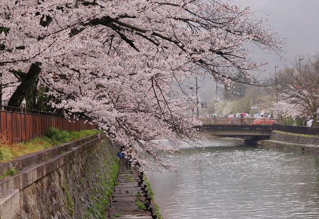 岡崎疏水の桜