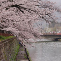 Photos: 岡崎疏水の桜