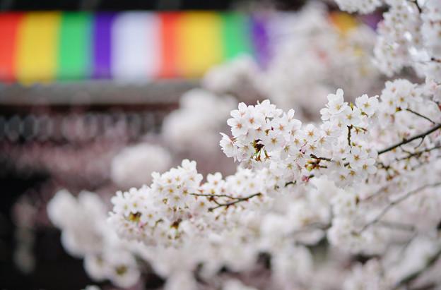 写真: 知恩院 三門 前の桜