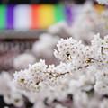 知恩院 三門 前の桜