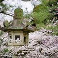 石燈籠&桜