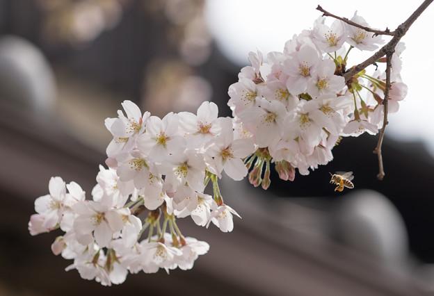 写真: 桜とはち