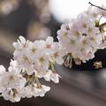 Photos: 桜とはち