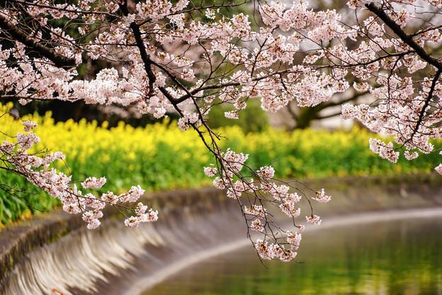 Photos: 山科疏水