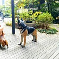 写真: 栃木県警察犬のリア(右)災害救助犬の小鉄(左)にそっくり