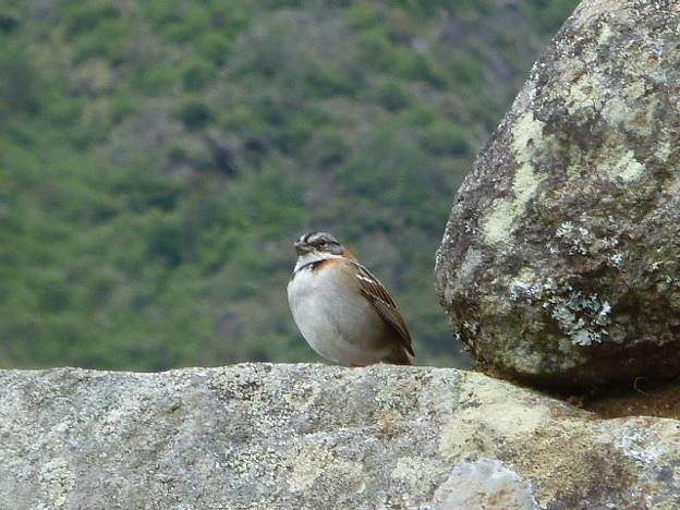 マチュピチュでよく見る鳥
