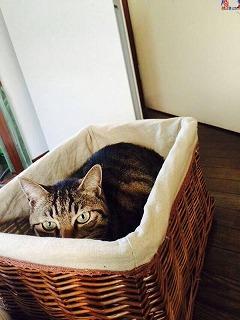 (18年更)神奈川県相模原市 猫(キジトラメス)の迷子(2014年11月より捜索中)