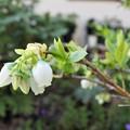 庭に咲く白い小花:ブルーベリー