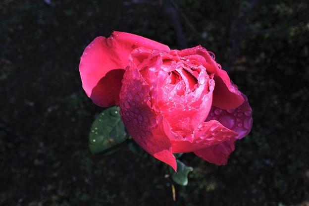 写真: 雨あがりの「マリアカラス」