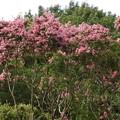 サルスベリの樹