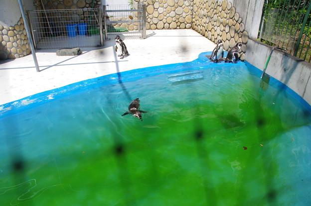 桐生が岡動物園のペンギンさん