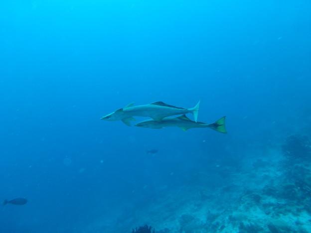 ペアのサメ