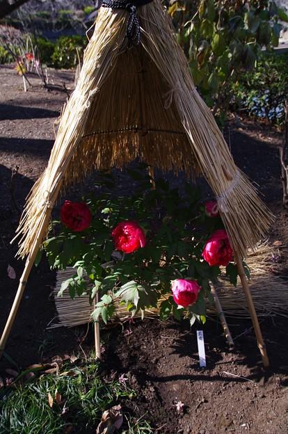 神苑ぼたん庭園の牡丹