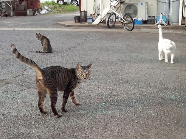 _170525 068 尻尾を立てる猫