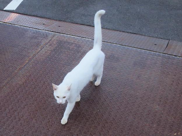 _171020 667 人懐っこい白猫 尻尾ピーン