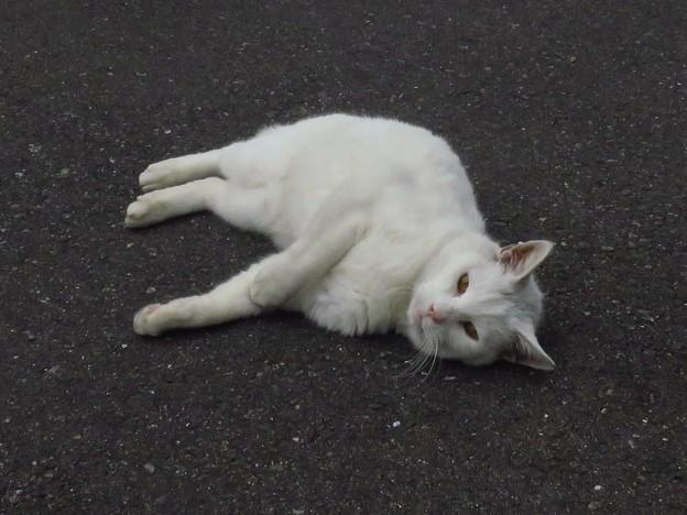 写真: _180116 119 おでこ灰色の白猫