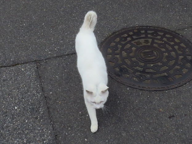 _180116 095 おでこ灰色の白猫