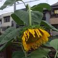 写真: 重い~ヒマワリFuji FP A800 2848