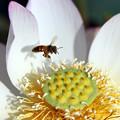 写真: 蜂(爪紅茶碗蓮)もやって来た