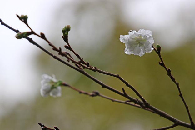 雨の日の十月桜