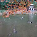 写真: 紅葉と水鳥達