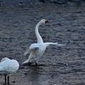 白鳥~羽ばたき