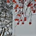 Photos: 雪柿