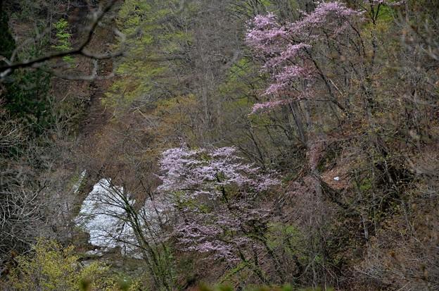 残雪と山桜