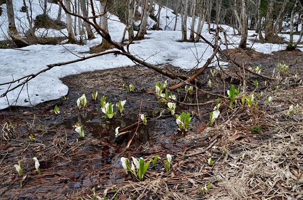春遅い山間の水芭蕉2