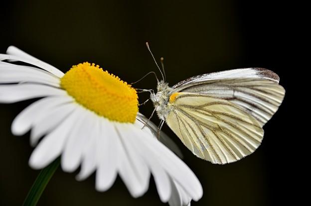 写真: スジクロ蝶