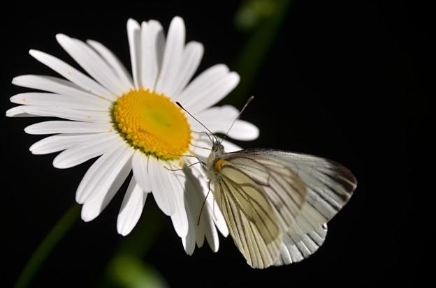 スジクロ蝶2