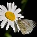 写真: スジクロ蝶2