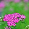 写真: ノコギリソウ咲き始め