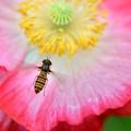 写真: はなあぶ~花の上飛行