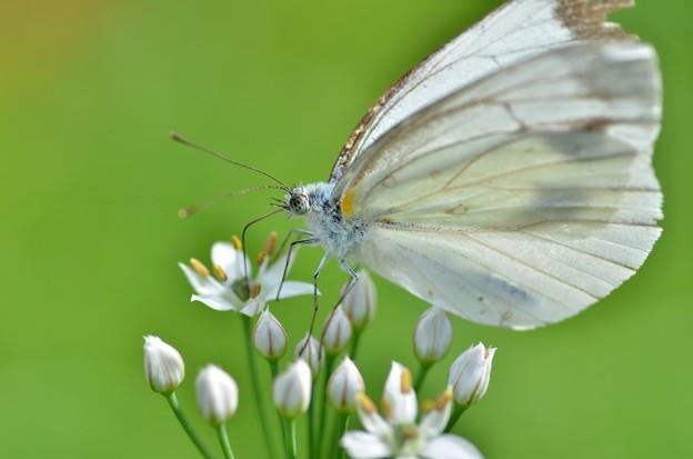 もんしろ蝶