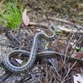 アオバズクが見つけた蛇
