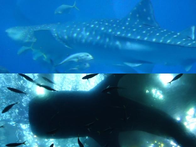 美ら海水族館9