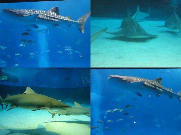 写真: 美ら海水族館い