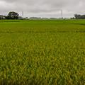 写真: 収穫間近