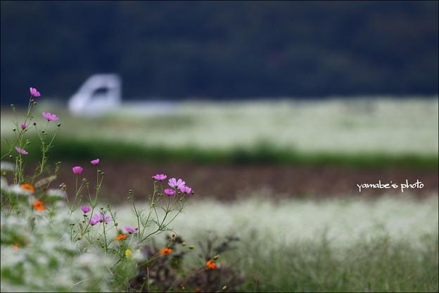 ソバの花とコスモスと軽トラと