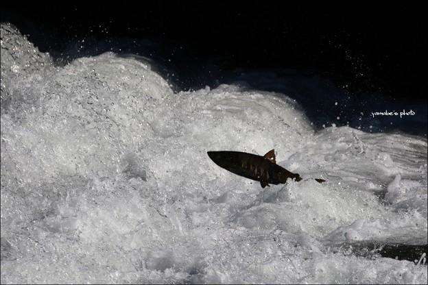 鮭の遡上2017