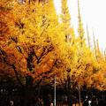 写真: 銀杏並木