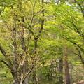 モミジ林新緑