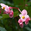 シュウカイドウ(赤花)