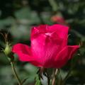 秋薔薇-02