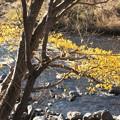写真: 川辺のコナラ?