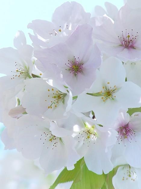大島桜06